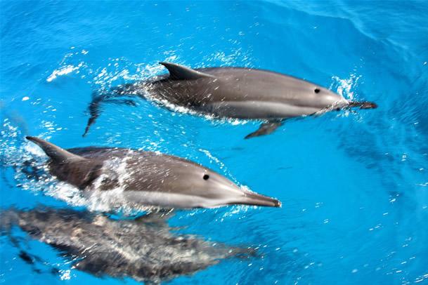 Os golfinhos são um caso a parte na minha vida, sou apaixonada por eles e sempre que posso estar perto de um, fico encantada. Noronha é uma reserva de golfinhos, e os voluntários do Projeto para os Golfinhos contam, por dia, de 200 a 800 golfinhos. Existem passeios de barco que passam perto dos refúgios deles. Como forma de proteger as fêmeas e seus filhotes, os golfinhos machos nadam na frente dos barcos, fazendo a alegria dos visitantes. Dolphins are part of a case in my life, am passionate about them and where I can be close to one, I'm delighted. Noronha is a reserve of dolphins, and volunteers for Project Dolphin count per day, 200-800 dolphins. There are boat tours that pass near them refuges. As a way to protect females and their offspring, males dolphins swim in front of the ships, delighting visitors.